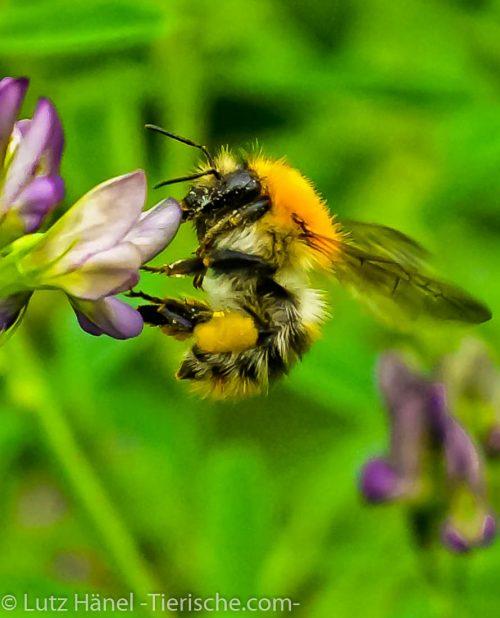 Tierfoto Galerien Biene und weitere tolle Fotos findest du auf dem Portal