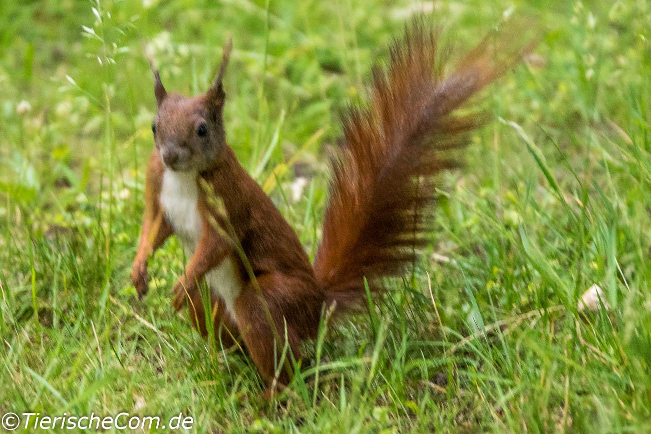 Eichhörnchen kann man mit einwenig Glück in Berliner Parks entdecken