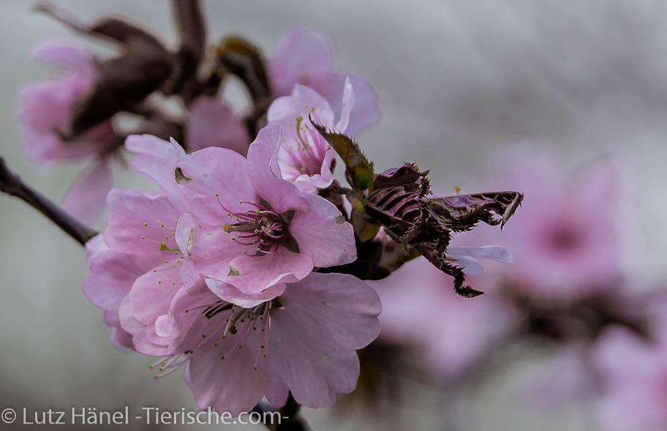 zur Frühlingszeit herrscht jedes Jahr im Frühjahr ein Hauch Japan in den Berlinerparks  - wilde Kischblüten – japanische Kirschblüten sind dort oft zu finden.