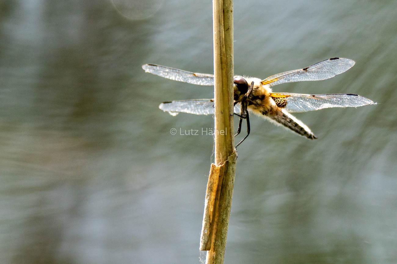 Große Heide Libelle hat Ihren Lebensraum in den Schönerlinden Teiche