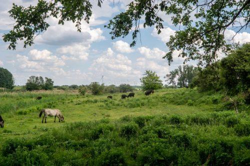 Konis und Wasserbüffel teilen sich den Lebensraum an den Schönerlinder Teiche.