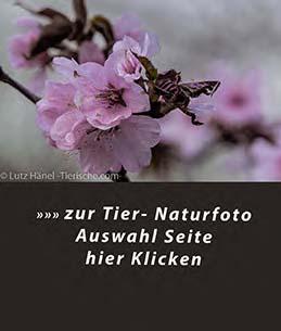 zur Frühlingszeit herrscht jedes Jahr im Frühjahr ein Hauch Japan in den Berliner Parks  - wilde Kischblüten – japanische Kirschblüten sind dort oft zu finden.