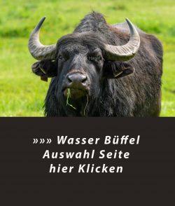Wasserbüffel in den Schönerlinder Teiche am Löwenzahnpfad