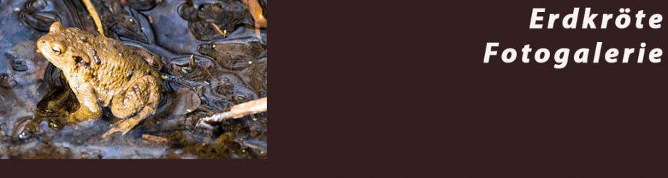 Erdkröte - Fotogalerie