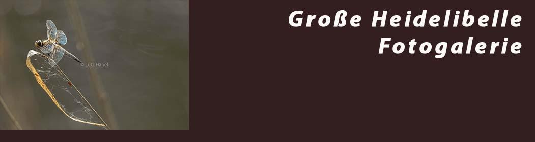 Große Heidelibelle - Fotogalerie