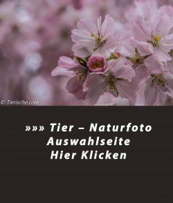 In der Frühlingszeit herrscht jedes Jahr im Frühjahr ein Hauch Japan in den Berlinerparks  – japanische Kirschblüten - wilde Kischblüten diese sind dort oft zu finden.