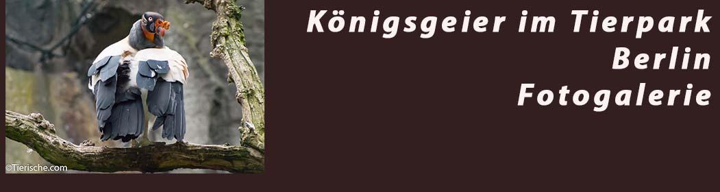 Königsgeier Freiflug Gemeinschafts Anlage mit anderen Geier Arten - Fotogalerie