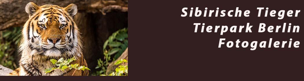 Sibirische Tieger im Berliner Tierpark - Fotogalerie