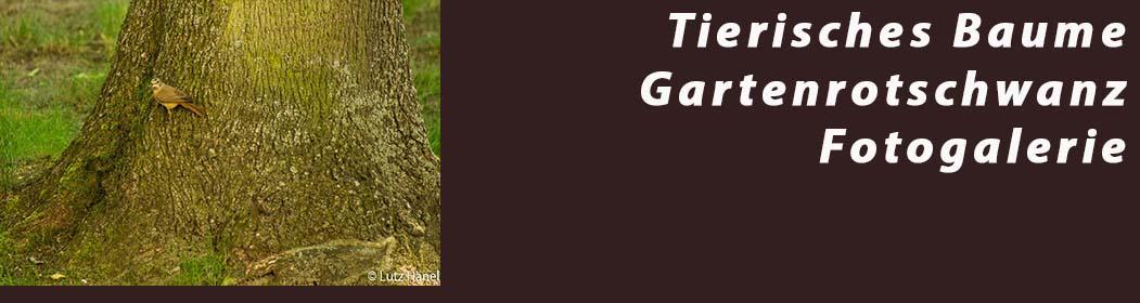 Tierisches Baume Gartenrotschwanz - Fotogalerie