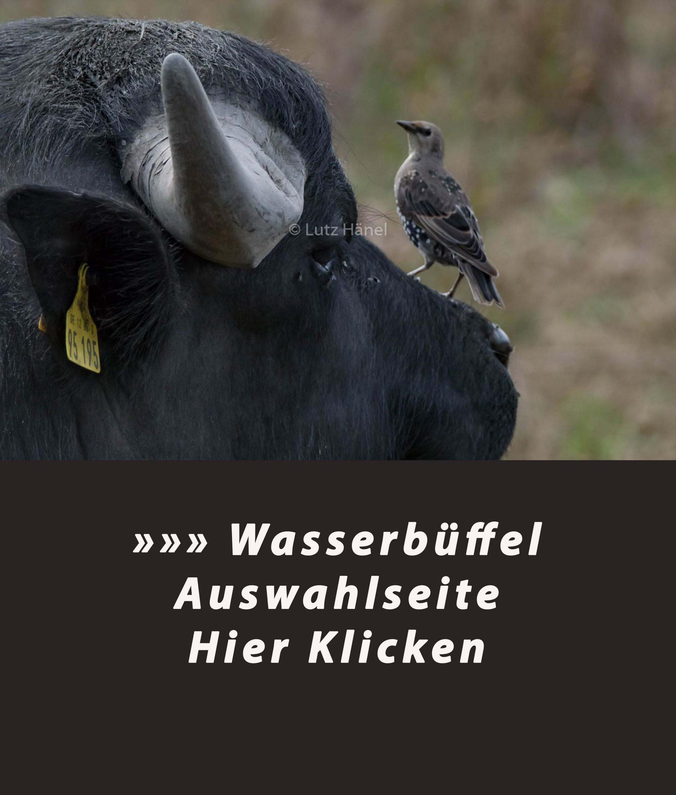 Wasserbüffel erleben