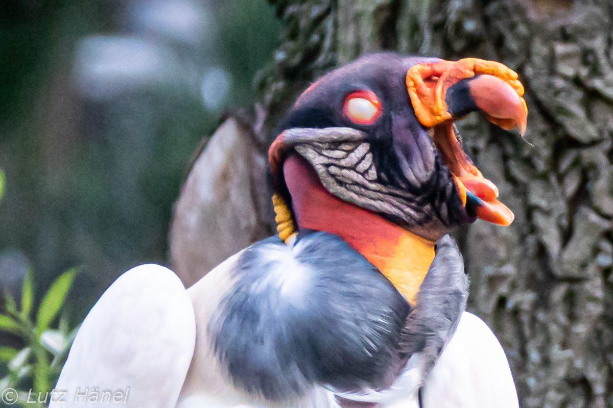Königsgeier Portrait vorbei kommen es lohnt sich bin im Berliner Tierpark zufinden