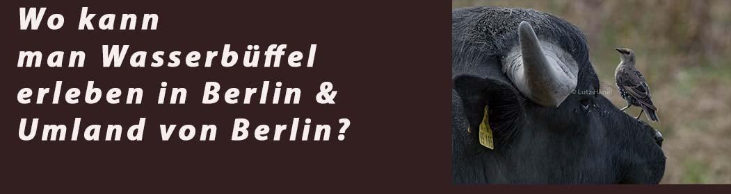 Wo kann man Wasserbüffel erleben in Berlin & dessen Umland von Berlin?