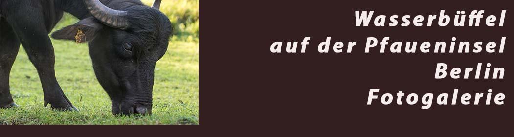 Wasserbüffel auf der Pfaueninsel- Fotogalerie