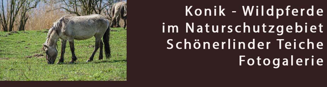 Konik Wildpferde am Löwenzahnpfad Mönchmühle - Foto Galerie