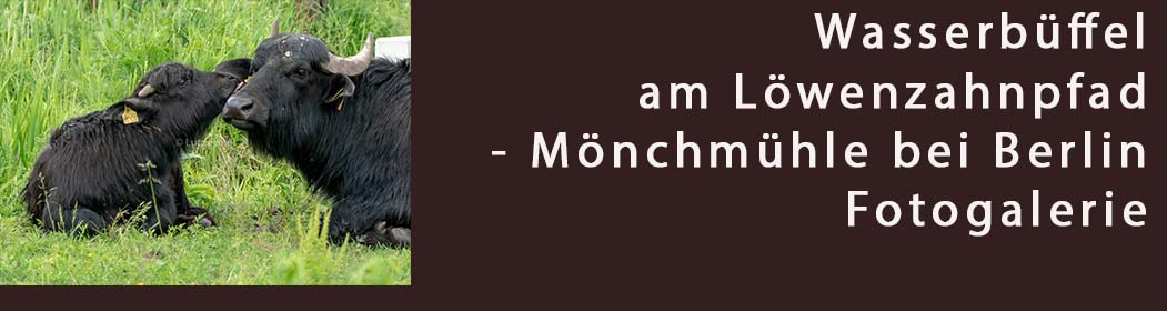 Wasserbüffel am Löwenzahnpfad Mönchmühle - Foto Galerie