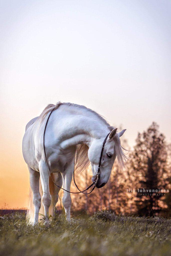 Valkoinen pura raza española-ori (andalusialainen) poseeraamaassa pellon laidalla auringon laskiessa ja tehdessä taivaan oranssiksi