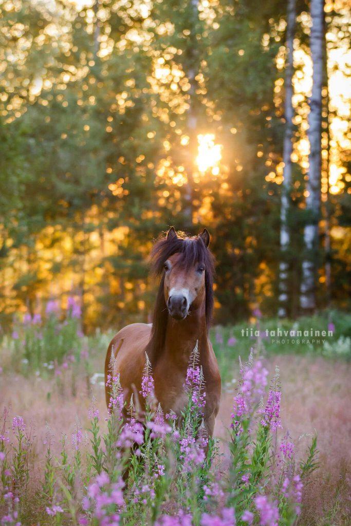 Gotlanninruss-ori maitohorsmapellossa auringon paistaessa suoraan ponin takaa puiden lomasta.