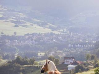 Haflinger-ori Stakkato katselemassa maisemia tarhassa Etelä-Tirolilaisessa kylässä aamuauringossa