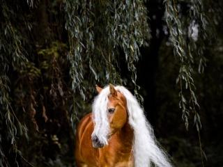 Kuvankaunis, pitkäharjainen haflinger-tamma Menjoo riippuvien lehtien lomassa Hollannissa tuulen heiluttaessa harjaa