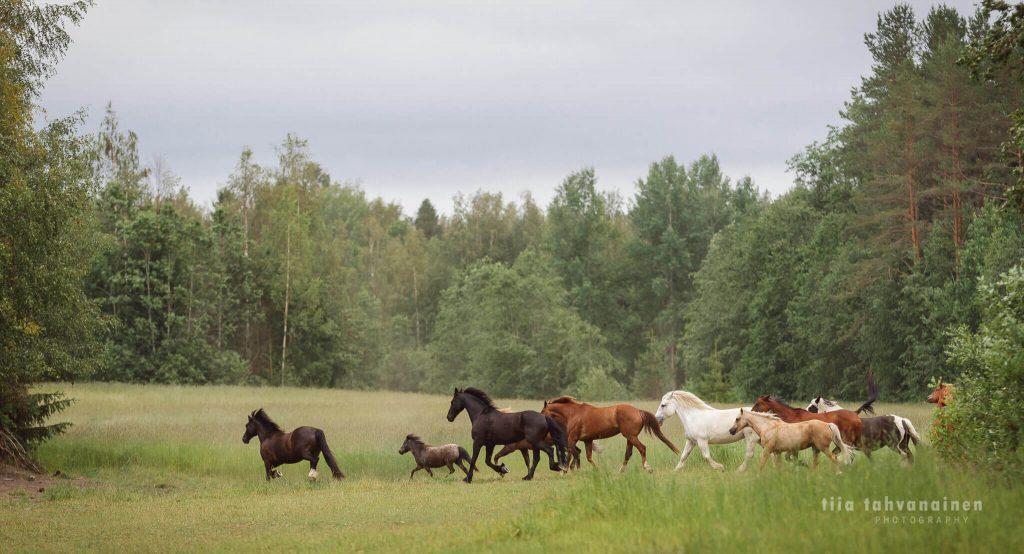 Lauma erirotuisia ja kokoisia hevosia ravaamassa laitumella metsän keskellä