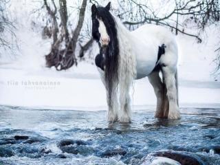 Pitkäharjainen irish cob-tamma Rose's Shannon sinivetisen joen keskellä talvimaisemassa