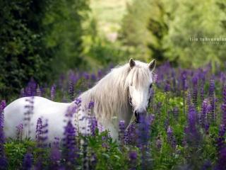 Valkoinen islanninhevosruuna violetissa lupiinipellossa kesällä
