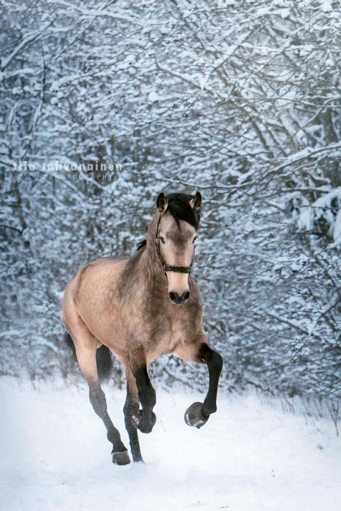 Ruunivoikko lusitano-ori Fundador laukkaamassa lumisessa maisemassa