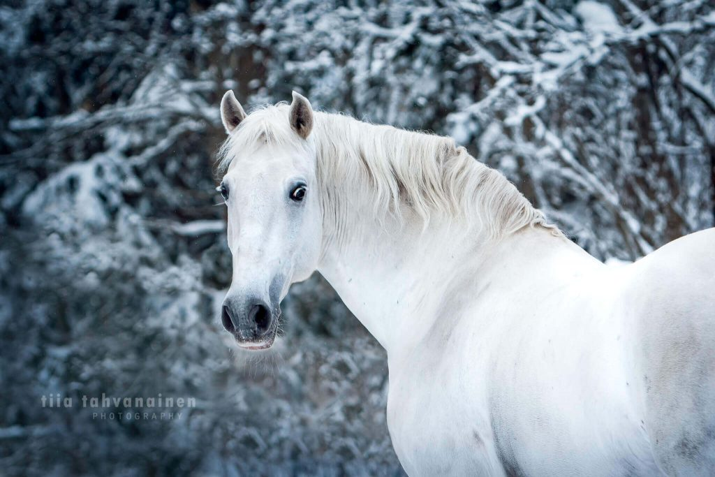 Pääkuva valkoisesta lusitano-orista Bergantim das Arribas talvisessa maisemassa