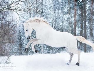 Valkoinen lusitano-ori Bergantim das Arribas laukkaamassa lumisessa maisemassa