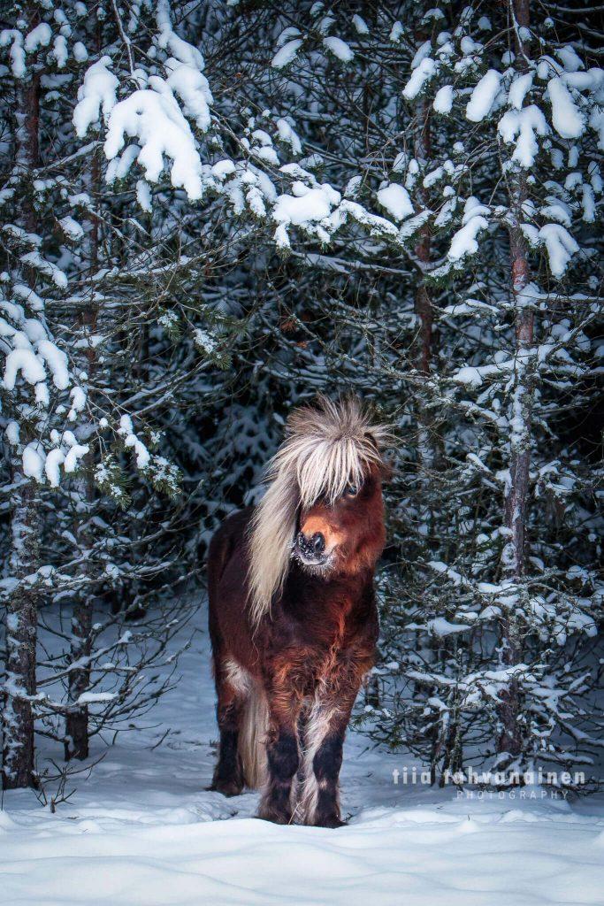 Pieni eurooppalainen miniatyyrihevosori Mireo Ceshar lumisten puiden alla talvella