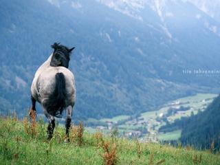 Noriker-tamma Libelle laukkaamassa poispäin laitumella vuorten rinteellä, horisontissa siintää kylä Antholz