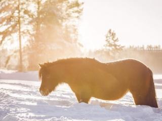 Ruunikko shetlanninponitamma liki mahaan asti ulottuvassa lumihangessa aurinkoisessa pakkassäässä