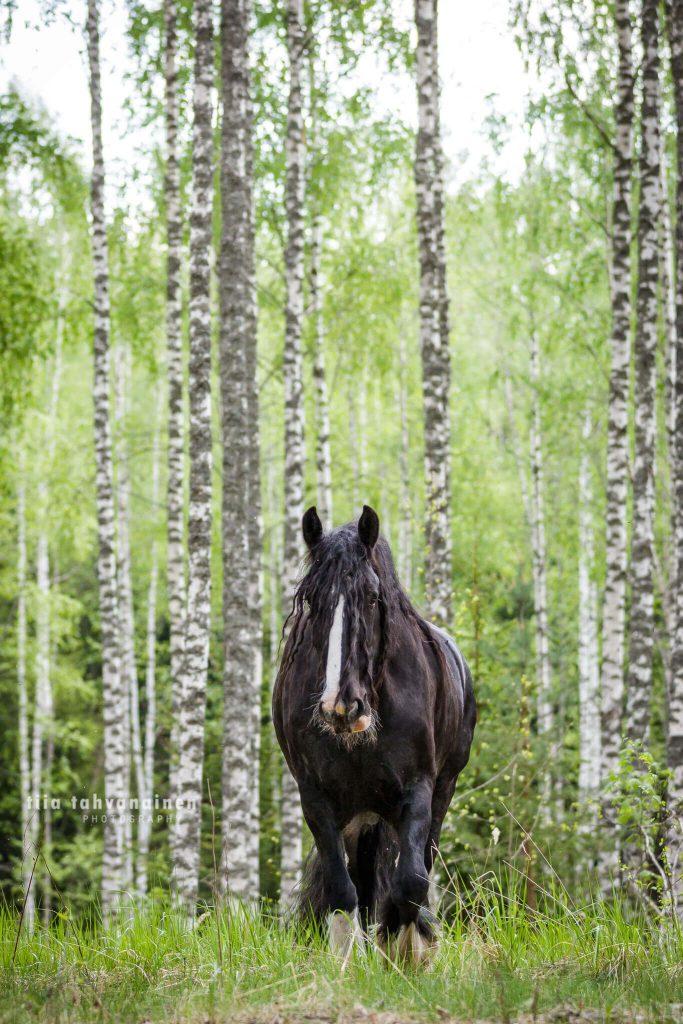 Musta shire-ruuna kävelemässä kameraa kohti perinteisen suomalaisessa koivu-maisemassa