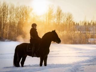 Suomenhevosori Melukylän Mersu ratsastaja selässään paksussa lumihangessa auringon laskiessa puiden taakse