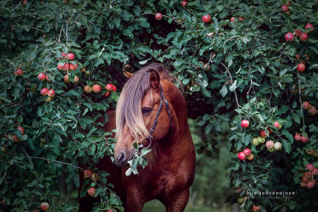 Suomenpienhevosori Tintin Muskotti omenavarkaissa
