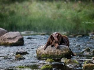 Ruskea australiankelpie makaamassa sammaleisella kivellä Myllykosken keskellä Nurmijärvellä