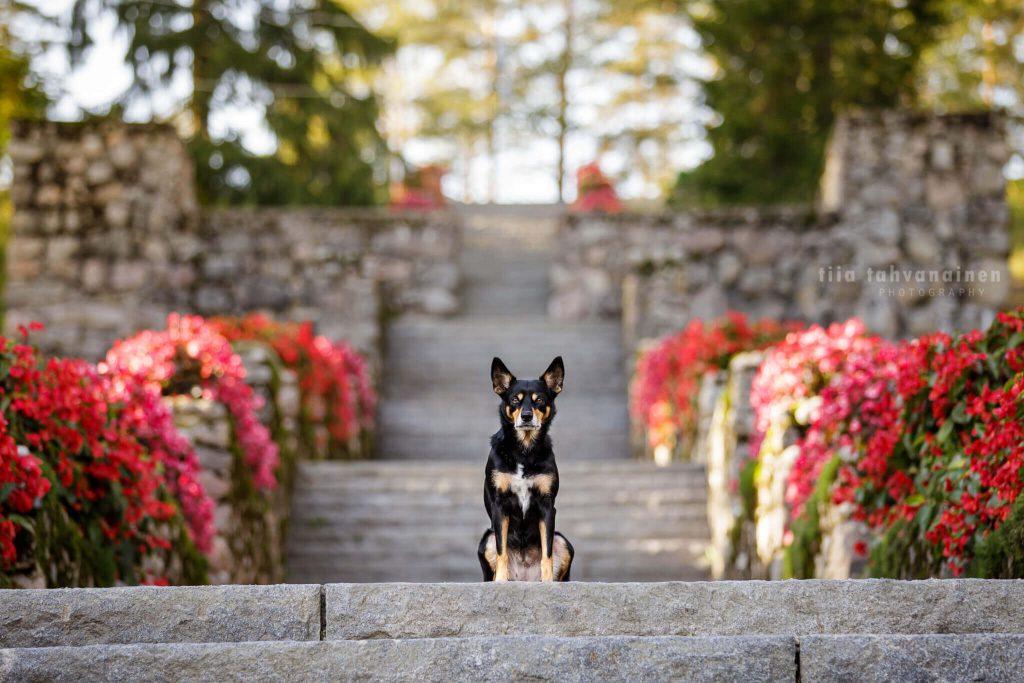 Australiankelpie-narttu Rieha istumassa Jyväskylän Harjun kiviportaiden keskellä, punaisten kukkien reunustaessa portaita
