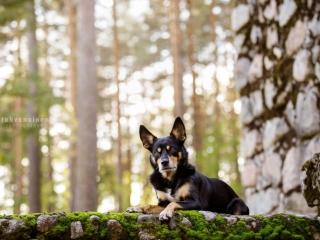 Australiankelpie-narttu Rieha makaamassa Jyväskylän Harjun kiviportailla