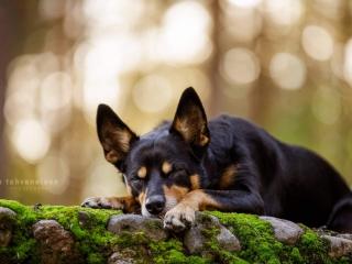 Australiankelpie-narttu Rieha makaamassa silmät ummessa Jyväskylän Harjun kiviportailla sammaleen päällä