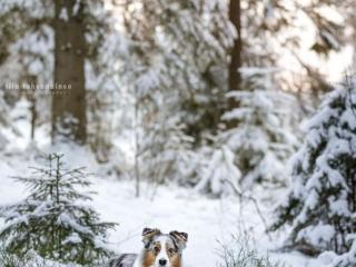 Australianpaimenkoira Ava lumisessa maisemassa Jyväskylässä