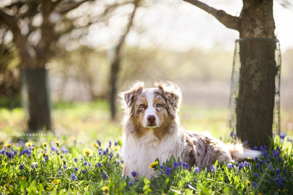 Australianpaimenkoira Hilma makaamassa maassa sinisten kukkien ympäröimänä, auringon kauniesti paistaen koiran takaa ja muuttaen taustan kellertäväksi