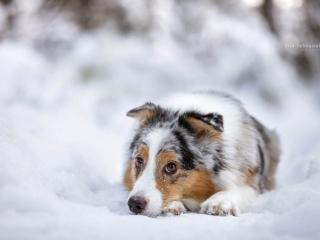 Australianpaimenkoira Ava makaamassa pää maassa lumen keskellä ja katsomassa kameraan