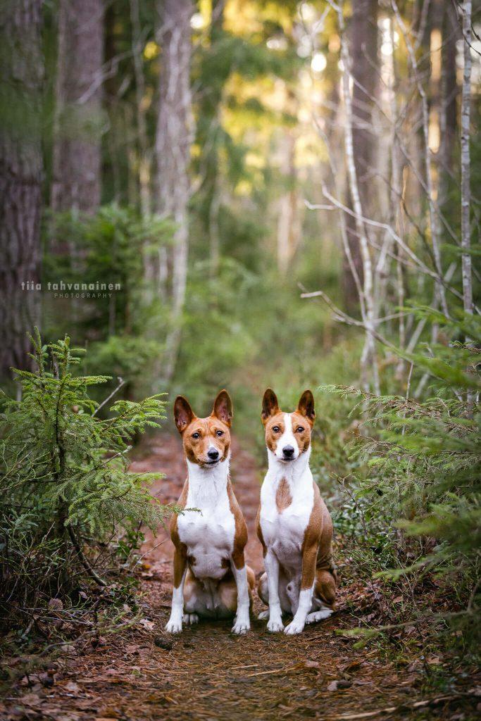 Basenjit Jerry ja Kaja istumassa vierekkäin metsäpolulla auringon paistaessa taustalla oleviin puihin
