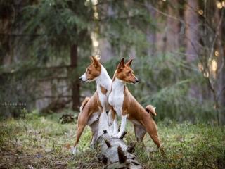 Basenjit Jerry ja Kaja etutassut puunrungolla, katseet eri suuntiin käännettyinä metsän keskellä auringon paistaessa puiden lomasta