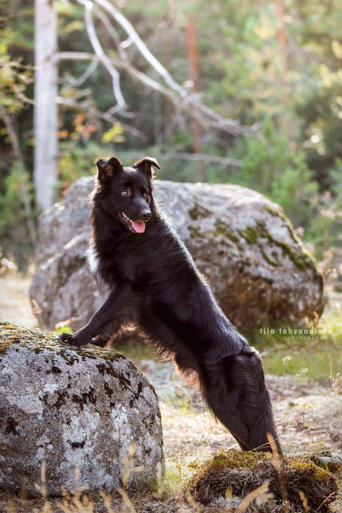 Bordercollie-uros Jekku seisomassa kiveä vasten Sipoonkorven kansallispuistossa, katse käännettynä vastakkaiseen suuntaan, Alicja Zmyslowskan workshopissa