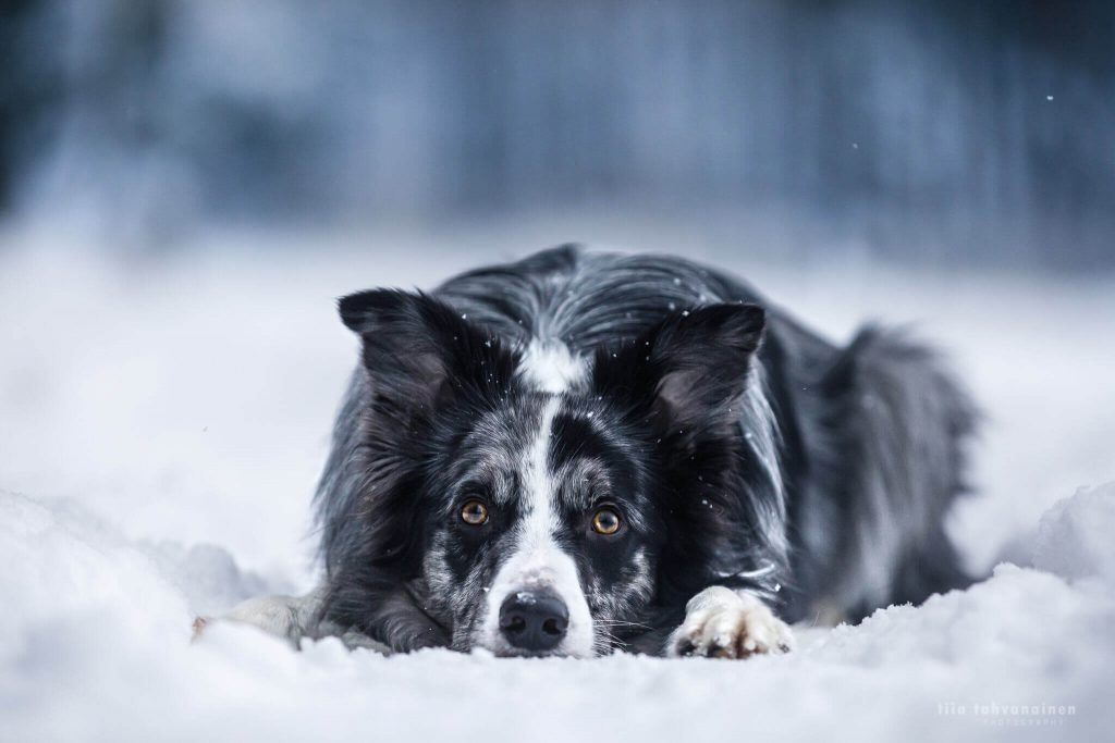 Bordercollie-uros Roti makaamassa lumisella polulla ja tuijottamassa intensiivisesti kameraan