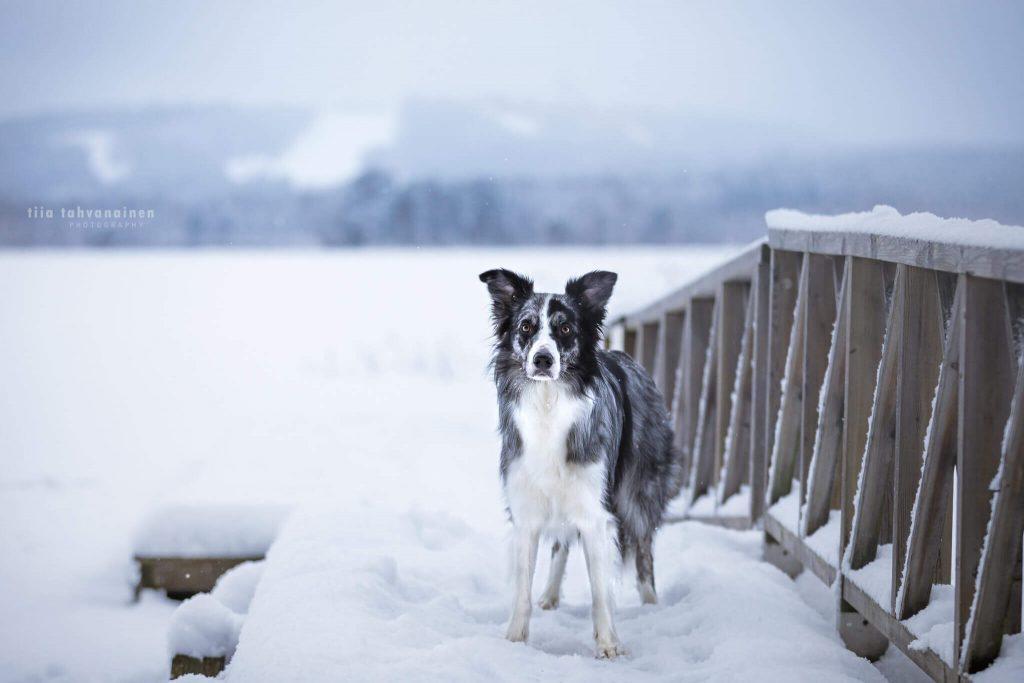 Bordercollie-uros Roti seisomassa lumisella laiturilla ja tuijottamassa kameraan, taustalle jää Laajavuoren laskettelurinteet ja Tuomiojärvi