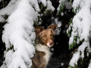 Bordercollie-narttu Neri istumassa lumisen kuusenoksan alla
