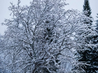 Bordercollie Mozart seisomassa lumisen puun alla Jyväskylän Viitaniemessä