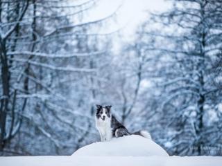 Bordercollie Mozart istumassa lumisen kiven päällä sinisävyisessä lumimaisemassa